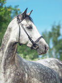 Beautiful grey horse in green summer field — Stock Photo