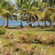 Pineapples and coconut trees — Stockfoto