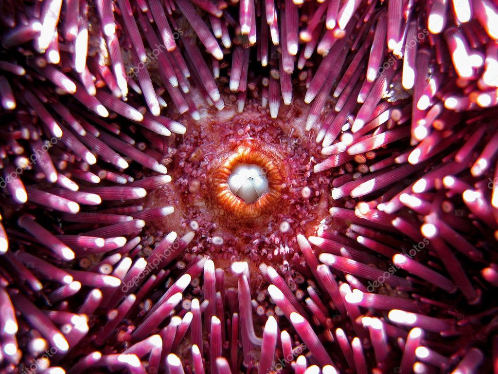 Mouth of a mediterranean sea urchin, Vermilion coast, France — Stock Photo #6933506