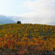 Sunset light in the vineyard - Stock Photo