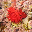 Mediterranean anemone - Stock Photo
