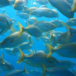 Shoal of Sea-Bream - Stock Photo