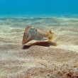 Cuttlefish on the sand — Stock Photo