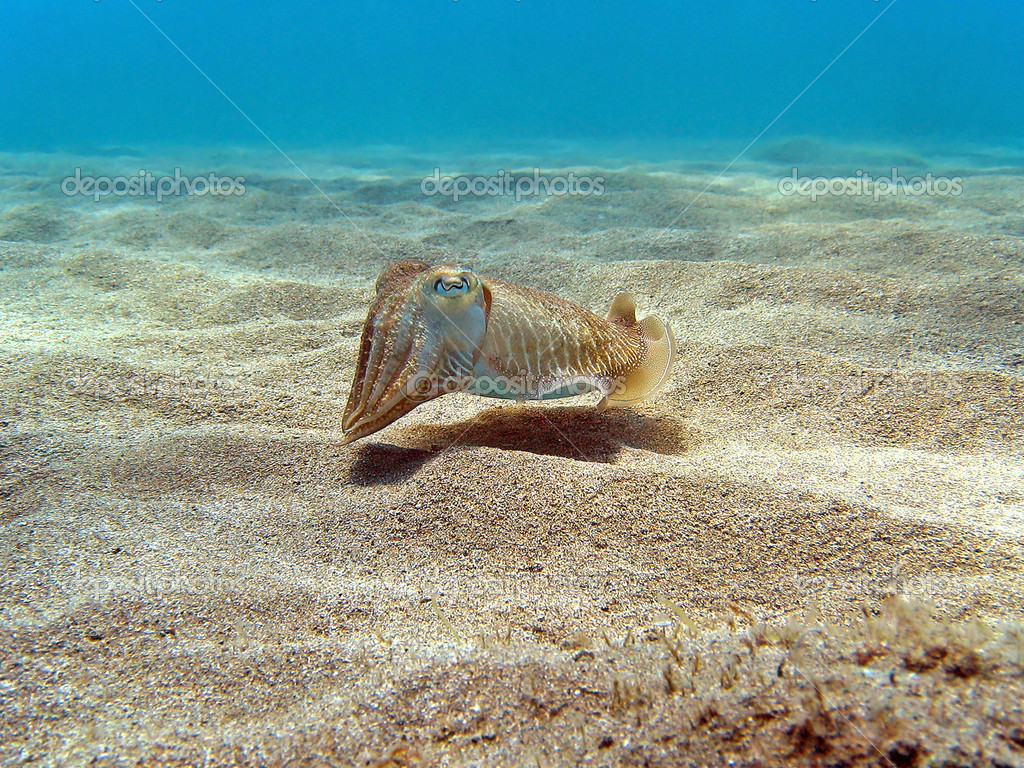 Common Cuttlefish on the sand, Vermilion Coast, Mediterranean sea, France — Stock Photo #7583810