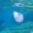 Barrel jellyfish — Stock Photo