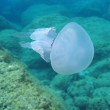 Jellyfish Rhizostoma pulmo — Stock Photo