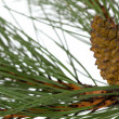 Branch of the pine, isolated on a white background — Stock Photo