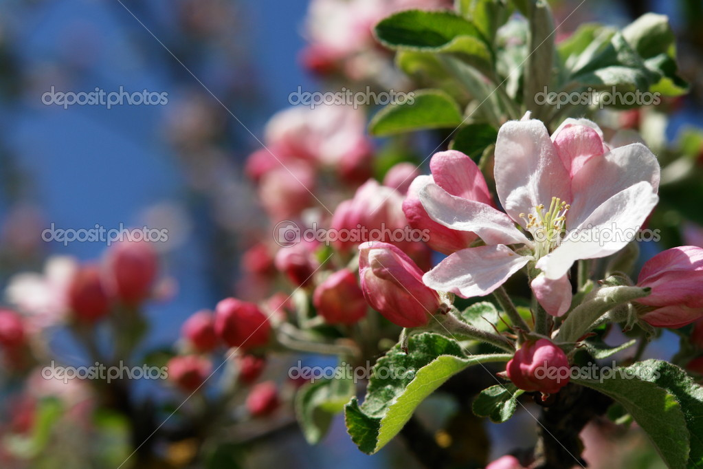 Apple blossoms against blue sky on a sunny day — Stock Photo #7497938