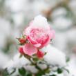 Perfect pink rose in fresh snow. - Stock Photo