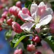 Royalty-Free Stock Photo: Apple blossom