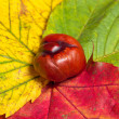 Chestnut on red, yellow and green leafs — Stock Photo