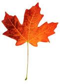 Fall leaf — Stock Photo