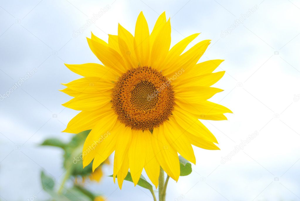 Close-up Sunflower — Stock Photo #6876453
