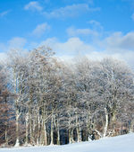 First winter snow and mountain beech forest . — Stock Photo