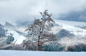 First winter snow on big beech tree in mountains — Stock Photo