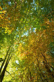 Floresta de faias outono — Foto Stock