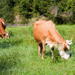 Two cows on summer meadow — Stock Photo