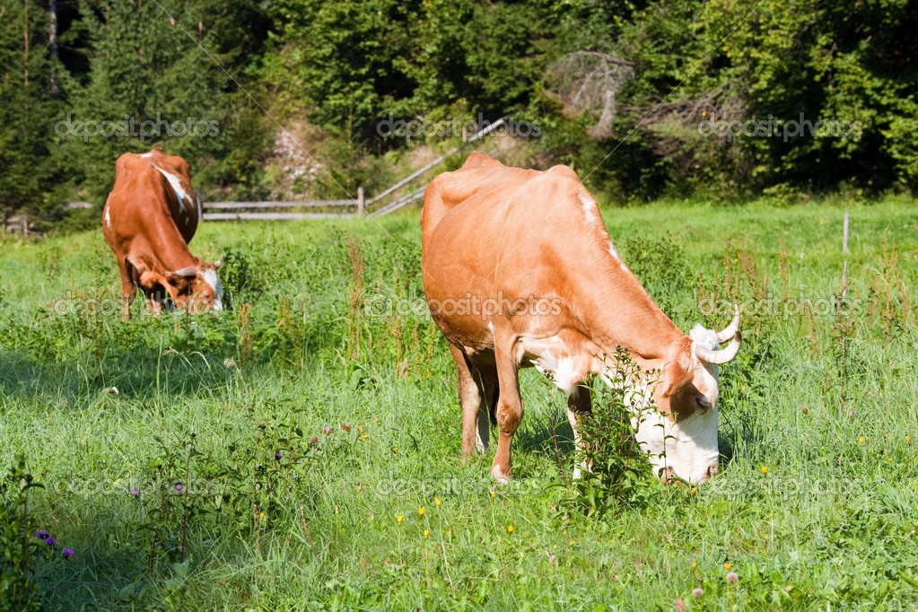 Two cows grazing on summer morning meadow (Carpathian, Ukraine) — Stock Photo #7462824