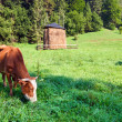Summer morning country landscape with cows — Stock Photo