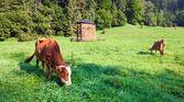 Mañana de verano paisaje campestre con vacas — Foto de Stock
