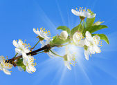 Blossoming cherry twig on sky and sunshine background — Stock Photo