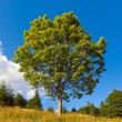 Lonely tree on summer mountain - Stockfoto