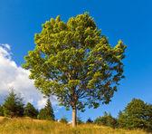 Samotne drzewo na lato góra — Zdjęcie stockowe