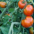 Tomato cluster in the garden — Stock Photo #6908499