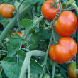 Tomato cluster in the garden - Stock Photo