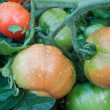 Vine Ripe Tomatoes — Stock Photo
