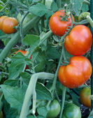 Tomato cluster in the garden — Stock Photo