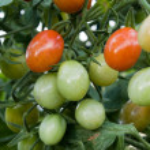 Cherry tomato cluster in the garden — Stock Photo
