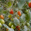 Cherry tomato cluster in the garden — Stock Photo #6936023