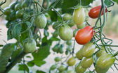 Cherry tomato cluster in the garden — Stock Photo
