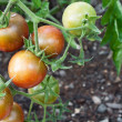 Cherry tomato cluster in the garden — Stock Photo #6955993