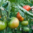 Tomato cluster in the garden — Stock Photo #6964566