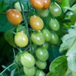 Cherry tomato cluster in the garden — Stock Photo #7086773