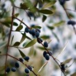 Black olives on branch . — Stock Photo
