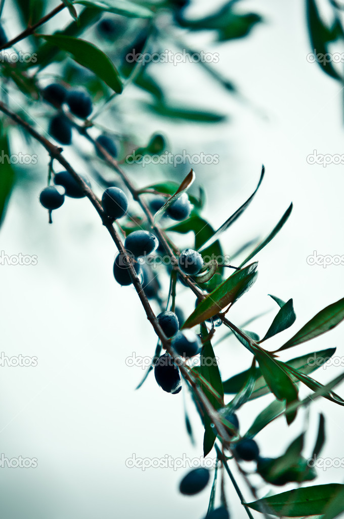 Mature olives on tree. — Stock Photo #7810434