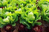Fresh vegetable in farm — Stock Photo