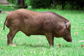 Wild boar in grass — Stock Photo