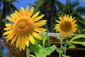 Beautiful yellow Sunflower — Stock Photo