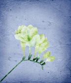 Freesia collage on old paper background — Stock Photo