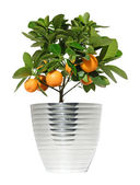 Potted citrus tree in a metallic pot, isolated — Stock Photo