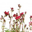 Red Saxifrage (Saxifraga) isolated on white — Stockfoto #6823304