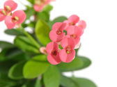 Euphorbia milii (Crown-of-thorns or Christ Plant) — Stock Photo