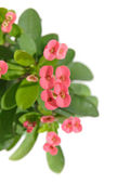 Euphorbia milii (Crown-of-thorns or Christ Plant), isolated — Stock Photo