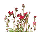 Red Saxifrage (Saxifraga) isolated on white — Stock Photo