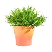Mini-bamboo potplant, isolated — Stock Photo