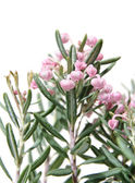 Bog-rosemary (Andromeda polifolia), isolated — Stockfoto